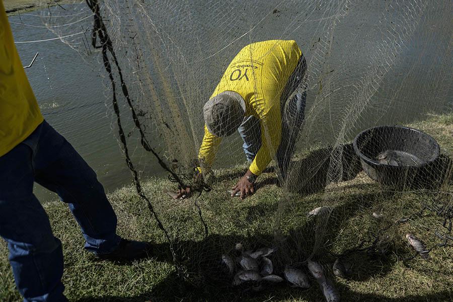 El recinto alberga tres estanques de crianza de tilapia.