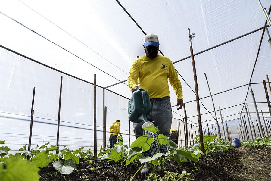 Solo en 2016 se cultivaron, según autoridades de la Dirección Nacional de Centros Penales (DGCP), 16 manzanas de maíz, con una cosecha de 624 quintales.